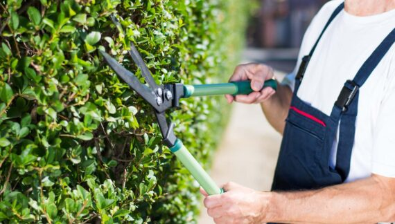 Man Trimming Hedgerow Garden Fence With Gardening Scissors Close